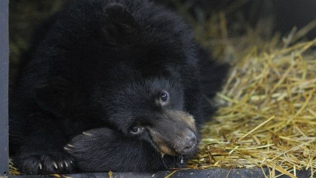 The Alberta government plans to look at garbage management as part of a review into why 145 black bears were shot in the Fort McMurray area in 2011.