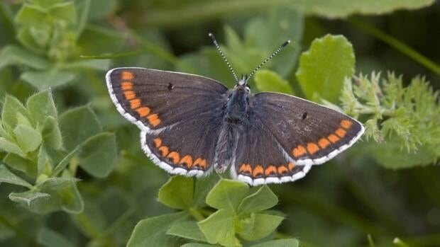 Warmer summers have caused the once-threatened brown argus butterfly to migrate to the north of Britain and start laying its eggs in different kinds of plants that it previously never used. This has allowed it to expand its habitat and thrive.