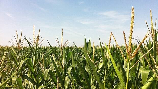 While farms in Illinois and Indiana are hot and dry, farms in Essex County were treated to much-needed rainfall in early July.