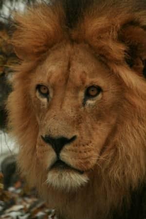 si-calgary-zoo-lion-300