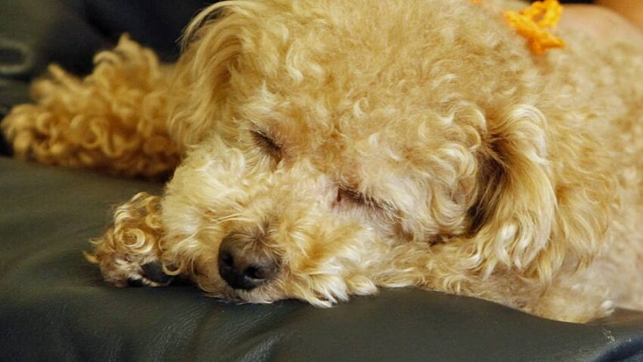 Hypoallergenic dog claims don't stand up | CBC News