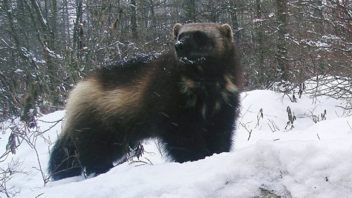 Wolverine Tracking Project Puts Out Call For Volunteers