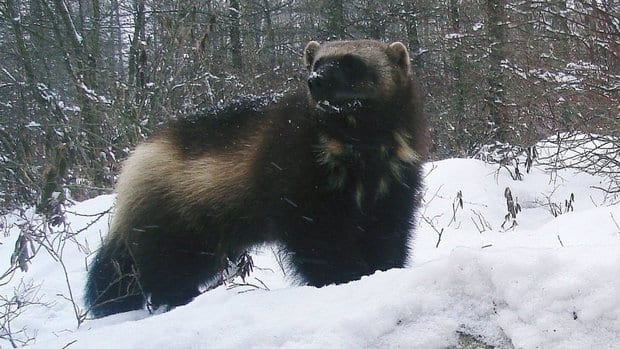 Scientists are working to determine how the Trans-Canada Highway is affecting migration patterns of wolverines.