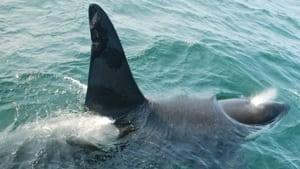 mi-hi-ns-killer-whale-fin