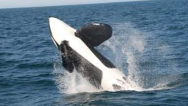 Orca whale sighting off Digby