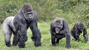 si-gorillas
