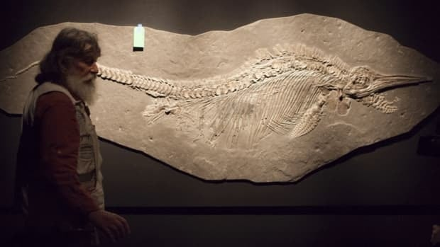 Robert Bakker, curator of paleontology at the Houston Museum of Natural Science, shows a fossil of a female Ichthyosaur and its unborn pups that will be on display in the Texas museum's new Hall of Paleontology. The $85-million US wing opens June 2 and will also have the only Triceratops skin found to date and a unique Tyrannosaurus rex fossil with complete hands.