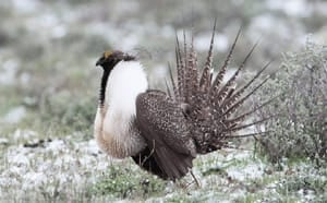 si-sage-grouse