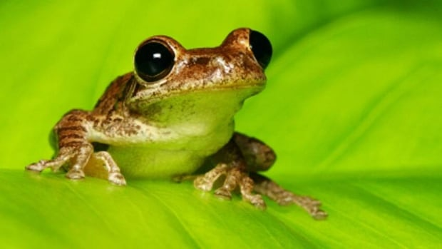 Scientists studying cuban tree frogs have found that unpredictable temperature fluctuations can boost their vulnerability to infection by a deadly fungus.