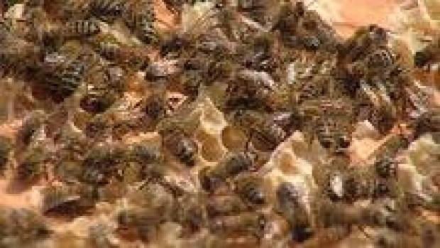 hi-bc-120730-bees-honey-3col