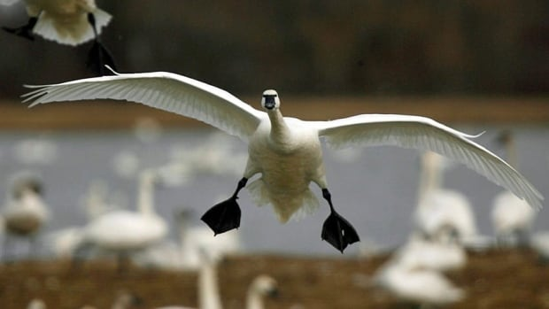 Theysmeyer said the most surprising appearance so far at the RBG was that of the Tundra Swan.