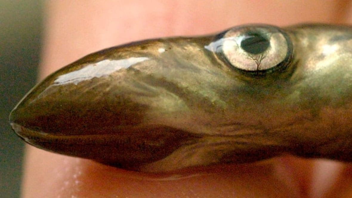 Parasite sea lamprey present in lake erie windsor cbc news for Lake erie fish species