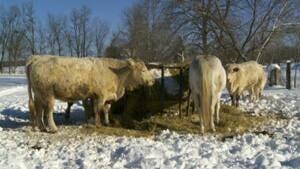 mi-charolais-cow
