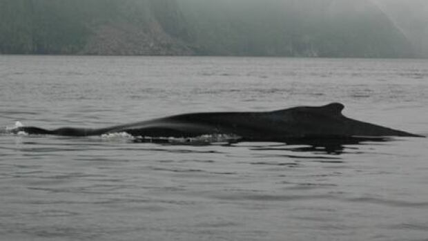 This large humpback whale was freed from entangled fishing gear in the Hermitage Bay area.