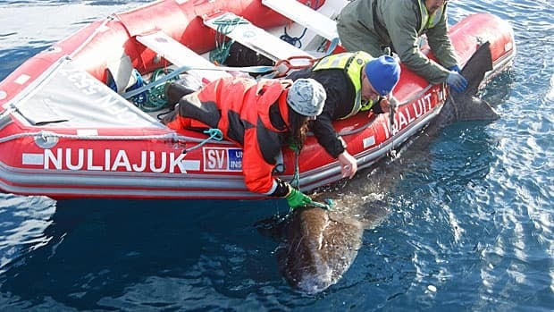 Sharks were tagged with a transmitter that will first track their patterns for three months.