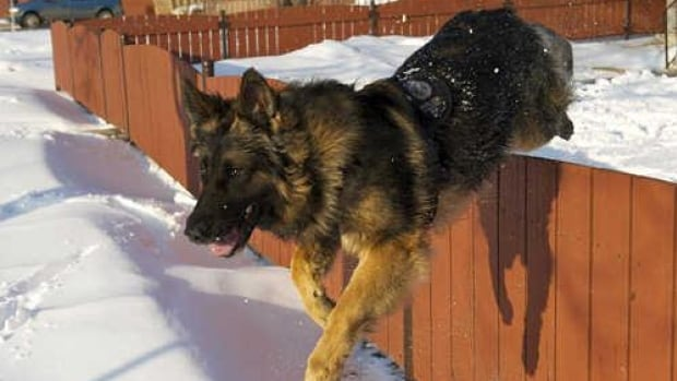 Edmonton police dog Quanto was stabbed by a suspect police were chasing early Monday morning.