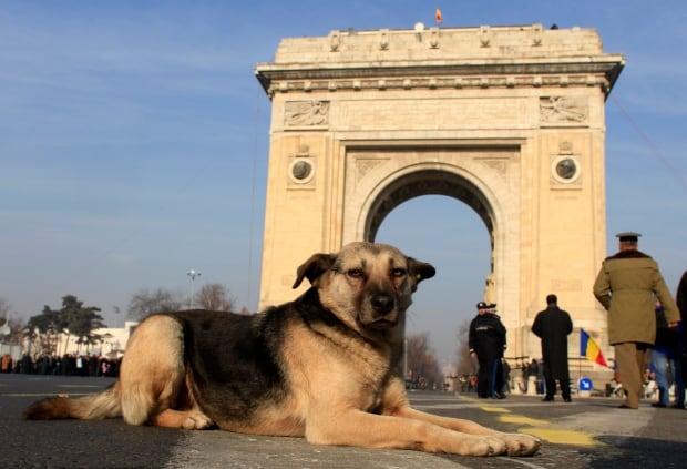 Romania-stray-dog