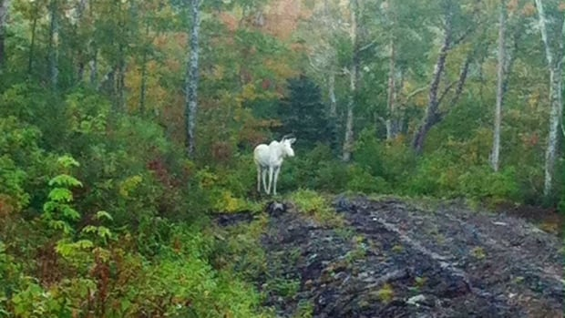 Elders said this albino moose is still alive. The albino animal is sacred in Mi'kmaq culture and the widespread images of its carcass last week upset many people.