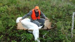 White moose, photo #4