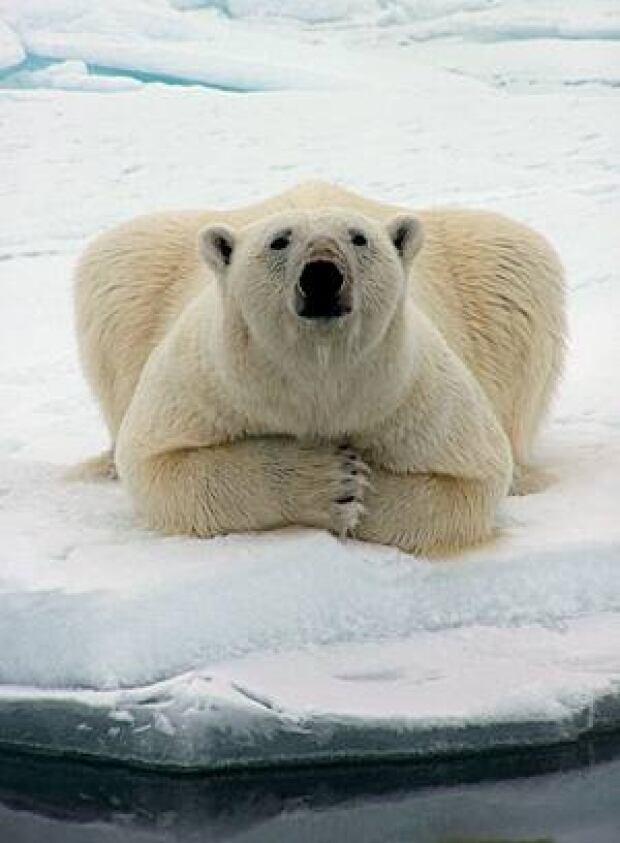polar-bear-barrow-ap-1509770-300px