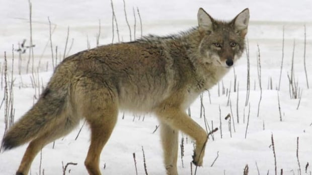 Coyotes are frequent visitors to Edmonton's urban landscape.
