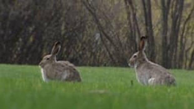 si-rabbits-300