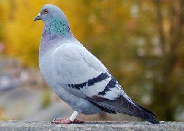 june26-2010-pigeon