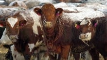 hi-cattle-beef-exports852-c