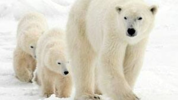 A polar bear mother and her two cubs walk along the shore of Hudson Bay near Churchill, Man. Polar bear encounters are on the rise in some areas of Nunavut, and a scientist says it could be due to climate change. (Jonathan Hayward/Canadian Press)