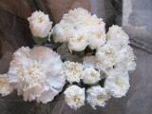 mothersday_carnation