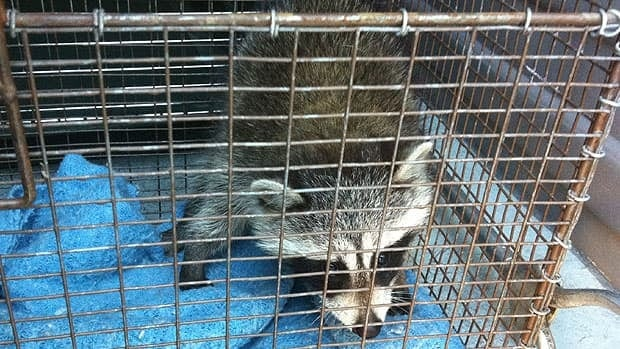 This is one of the raccoons that was allegedly being attacked Wednesday morning.