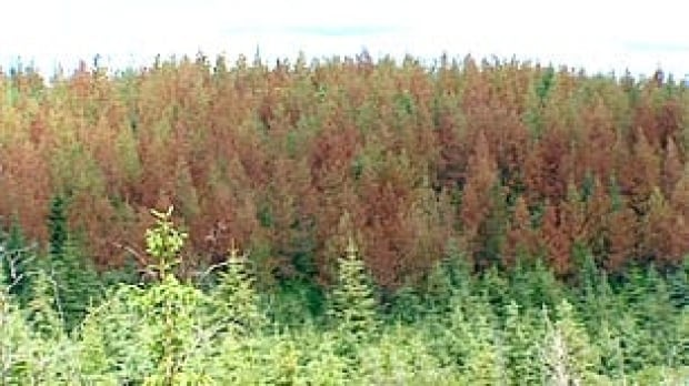 bc-090922-pine-beetle-forest
