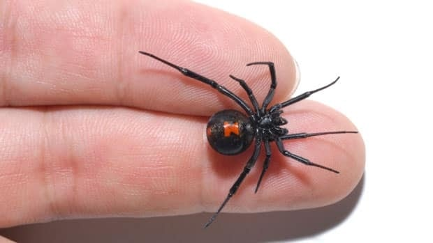 A black widow spider, similar to this one, was found by a Kenora family in a bag of grapes bought at a local grocery store.