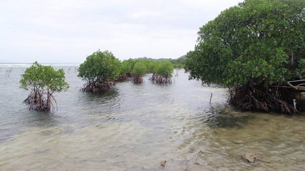 Restored mangroves around a shrimp farm in Batangas, Verde Island Passage, Philippines. Mangrove forests are being damaged by human activities and are becoming increasingly susceptible to climate change related impacts.