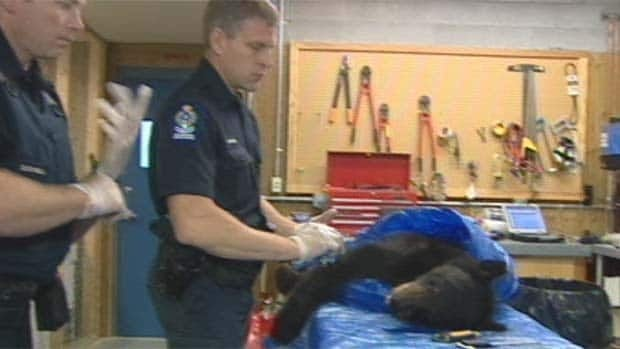 Conservation officers examine one of five bears destroyed after an elderly woman was killed near Lillooet.