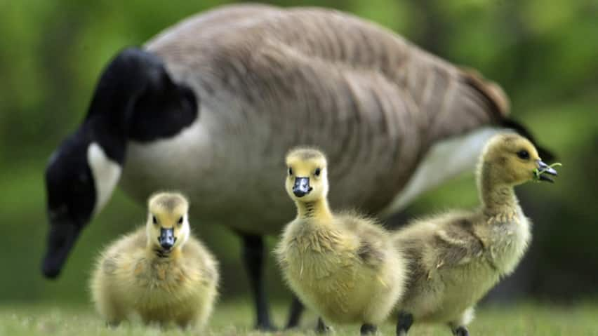 Image result for images canadian goose 3 baby chicks grazing