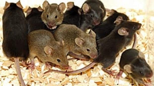 mice-istock_000004655698xsm