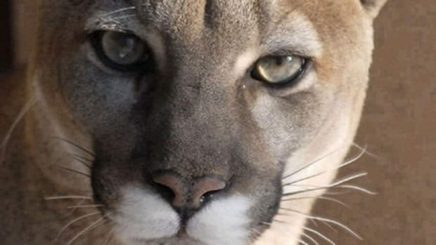 Park officials at Cypress Hills Interprovincial Park have been forced to put down three cougars after they displayed 'unusual' behaviour. (CBC)