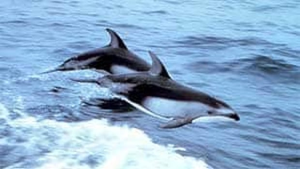 mi-bc-110628-pacific-white-sided-dolphins-noaa
