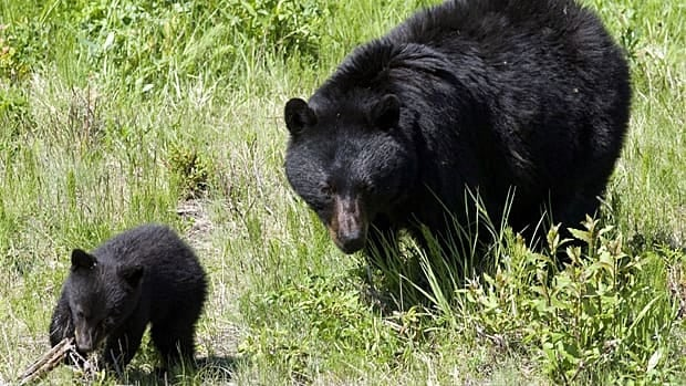A black bear and her cub walk through the grass on a ski run on Blackcomb mountain in Whistler, B.C., on June 26, 2009.