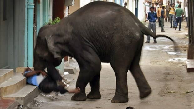 A wild elephant gores a security guard in Mysore, in the southern Indian state of Karnataka, on Wednesday. Every year, hundreds of people across India die when wild animals wander into cities as their natural habitats shrink and they have to range farther for food.