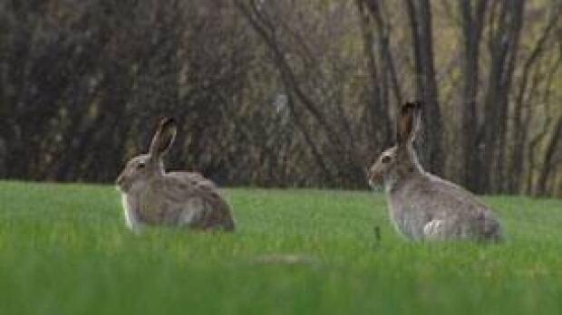 sk-rabbits-2