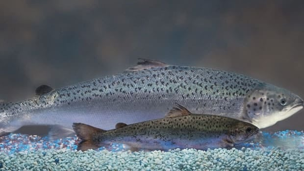Two same-age salmon, a genetically modified salmon, rear, and a non-genetically modified one.  The U.S. Food and Drug Administration could approve modified salmon for consumption in 2011.