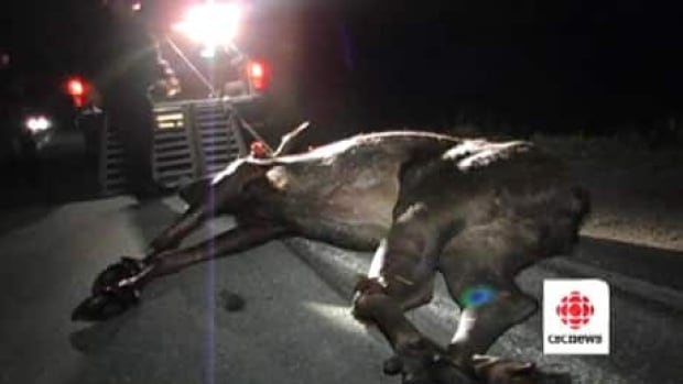 This moose was killed in June after a vehicle collided with it on the Burin Peninsula. Such collisions can cause injury and even kill drivers and passengers.