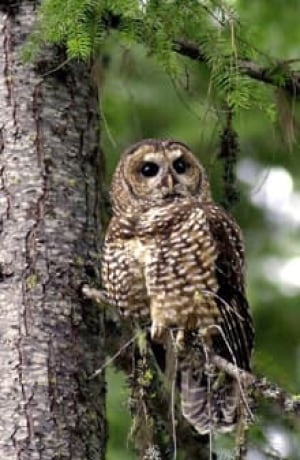 sm-220-spotted-owl-7038737