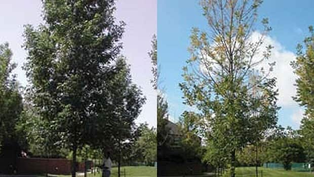 An apparently healthy tree (left) was examined 14 months later (right) and found to have thinning, yellowing foliage consistent with an emerald ash borer attack. (Canadian Forest Service)