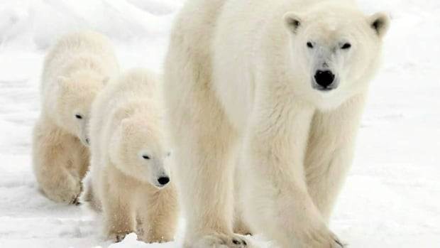 A polar bear mother and her two cubs walk along the shore of Hudson Bay near Churchill, Man., in 2007. People who patrol for polar bears in Arviat, Nunavut, say there are more bears this year. (Canadian Press)