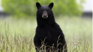 Spring bear hunt now on across Ontario