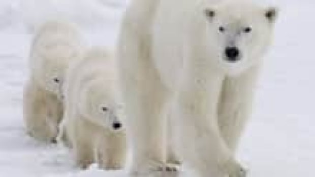 si-polar-bears-cp-00127150