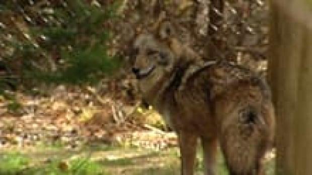 si-coyote-220
